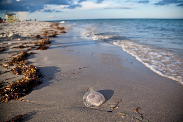 Jellyfish begin seasonal invasion of South Florida coastline