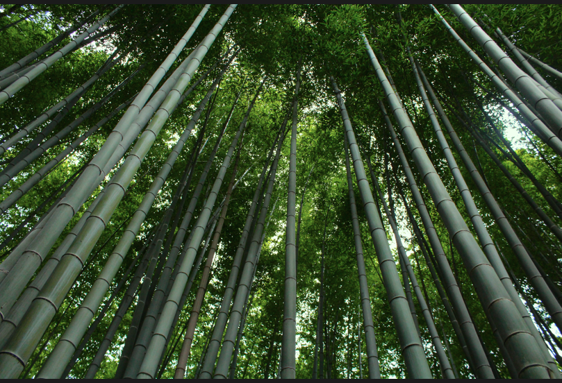 Tall stalks of bamboo tower towards the sky in Kyoto's bamboo forest. // Jamie Servidio