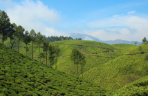 Hiking trails in Munnar (Kerala, India) maze through lush green tea plantations.