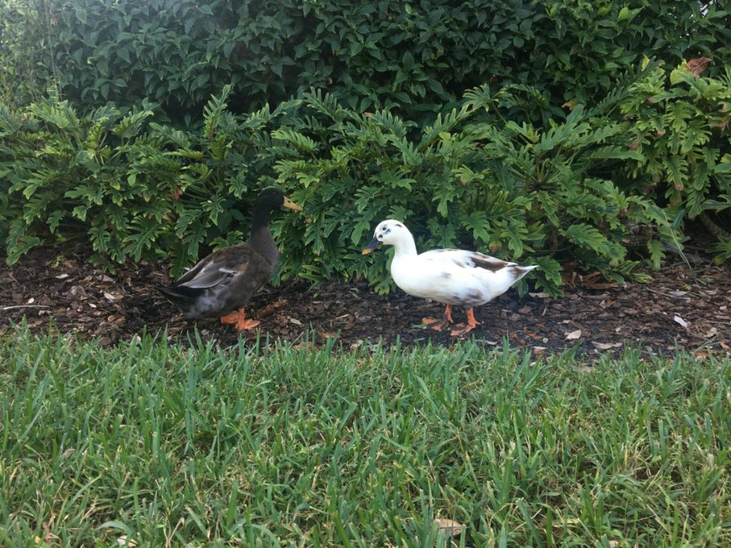 Birds of a feather flock together: Duck couple creates buzz on campus