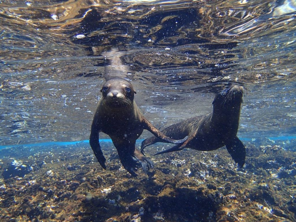 Students often saw playful Galapagos sea lions swimming around in the ocean surrounding Isabela Island.