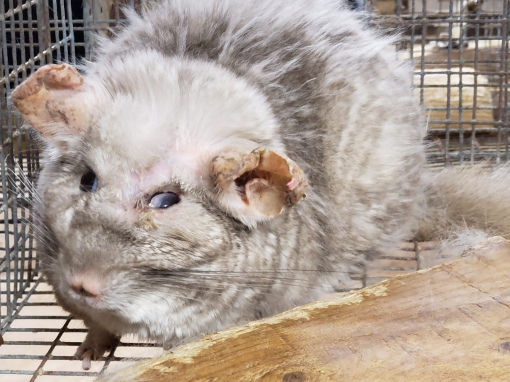 An old chinchilla with facial deformities, including blindness in its right eye, is photographed at Moulton Ranch.